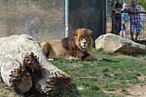 Lvi mohou být nevyzpytatelnými mazlíčky