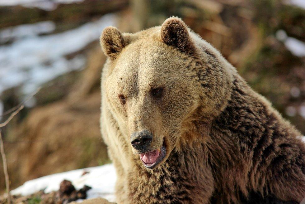 Medvěd hnědý ze Zoo Tábor