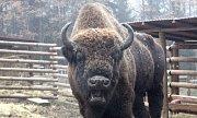 Do táborské zoo dorazil zubří samec.