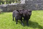 V táborské zoo se narodili tři bretanští skřítci.