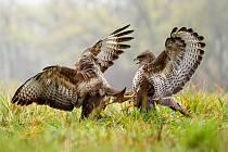 Mladí ptáci se na svých lovištích často pouštějí do soubojů, které mohou výjimečně skončit i smrtí jednoho ze soků.