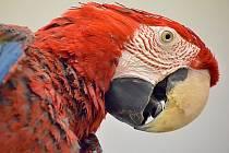 Papoušek ara zelenokřídlý. Ilustrační foto.