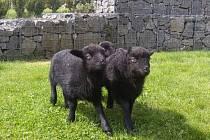 V táborské zoo se narodili tři bretanští skřítci, a ti se v sobotu dočkají svého křtu.