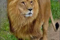 Lev si pochutná.