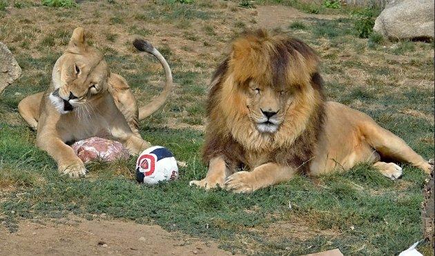 Hra s míčem aneb lvi pustinní Simba a Elza v Zoo Tábor.