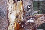 Dvojice sucho a kůrovec ohrožuje i lesy na Táborsku.