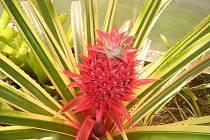 V botanické zahradě bude k vidění i plodící  ananas.