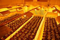 Policisté zajistili pět set rostlin konopí