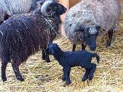 Černé jehně ovce ouessantské v Zoo Tábor.