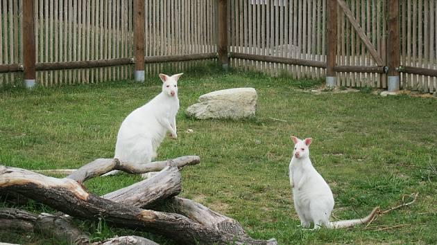 Bílí klokani v Zoo Tábor. Ilustrační foto.