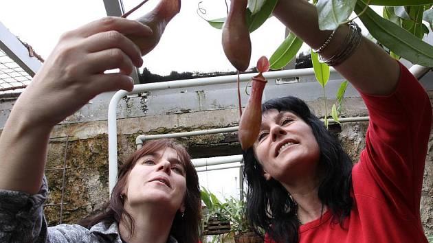 S Petrou Vokounovou prohlížíme pasti masožravé rostliny. Uvnitř je trávicí tekutina, která zpracuje chycenou kořist.