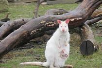 Nejnovějšími přírůstky v Zoo Tábor jsou dva klokani rudokrcí.