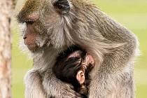 Zoologické zahradě v Táboře se daří rozmnožovat ohrožené druhy. Skupina makaků jávských se rozrostla o nový přírůstek.