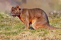 V ČR žije fosa madagaskarská pouze ve dvou zoo, z nichž jedna je v Táboře.