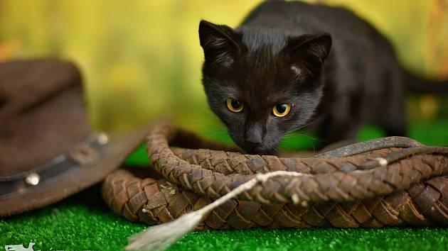 Kočičí akčňák Indiana Jones čeká v táborském útulku možná i na vás