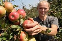 Sklizeň ovoce patří k oblíbeným brigádám.