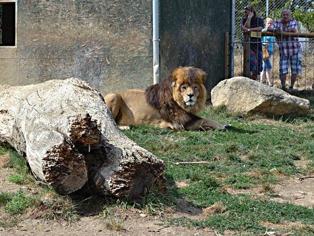 Lev z táborské zoo.