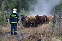 Stádo býků běhalo v úterý kolem Borotína po lese.