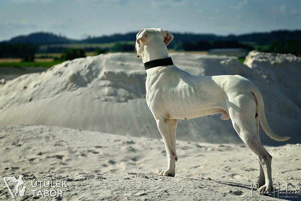 Celkem 8 z 21 zabavených psů z nevhodné chovu vOldřiši uBlažejova se zotavuje v Útulku pro psy a kočky Tábor. Argentinské dogy se tu proměnily v egyptské božstvo.