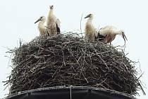 Na některých hnízdech jsou mláďata již velká jako jejich rodiče a rozeznat je můžete pouze podle zbarvení a délky zobáku. Mladí čápi mají kratší zobák zbarvený černě, dospělý ho mají delší a červený.