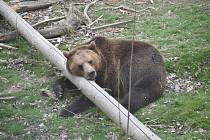 Medvěd hnědý odpočívající v táborské zoologické zahradě. Ilustrační foto.