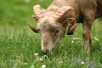S ovcemi, kozami a mláďaty se můžete potkat v kontaktní části zoo. Jaro vždy přinese nové přírůstky.