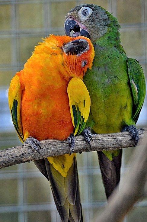Papoušci Aratinga sluneční a Aratinga tmavohlavý v Zoo Tábor.
