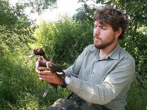 POLÁK CHOCHOLAČKA. Na snímku Miroslav Bažant ukazuje samici poláka chocholačky, která je jen otrochu menší než kachna divoká.