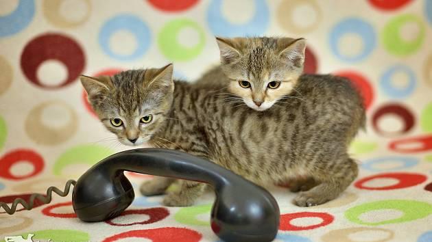 Koťata Mach a Šebestová bydlí v táborském útulku a čekají, až si je někdo odvede domů.