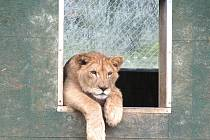 Lev v zoo na Větrovech.