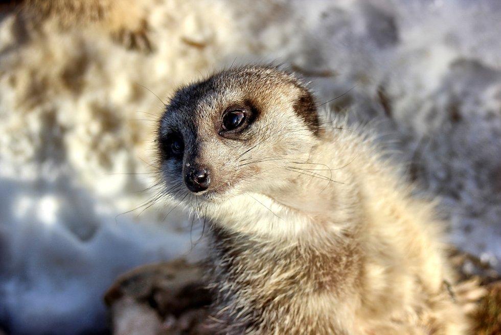 Táborské surikaty.