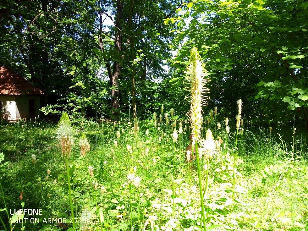 V podrostovém patru arboreta botanické zahrady to kvete.