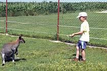 Ve výběhu na farmě v Oboře už zůstal jenom Čert. Klokaní samice Káča mu utekla.