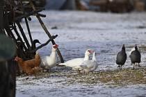 Obávaná nemoc drůbeže a vodního ptactva se objevila u hranic Kraje Vysočina.