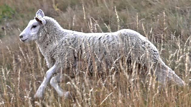 Táborští hasiči přijeli na pomoc ovci, která uvízla na ostrůvku uprostřed Lužnice.