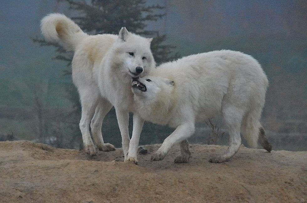 Vlk arktický vypadá jako mazel, ale při krmení se přesvědčíte, že zůstává šelmou!