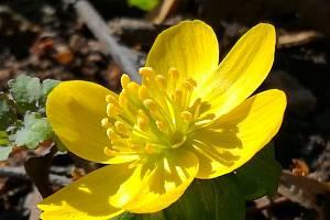 Sluníčko ohřívá i první jarní květiny.