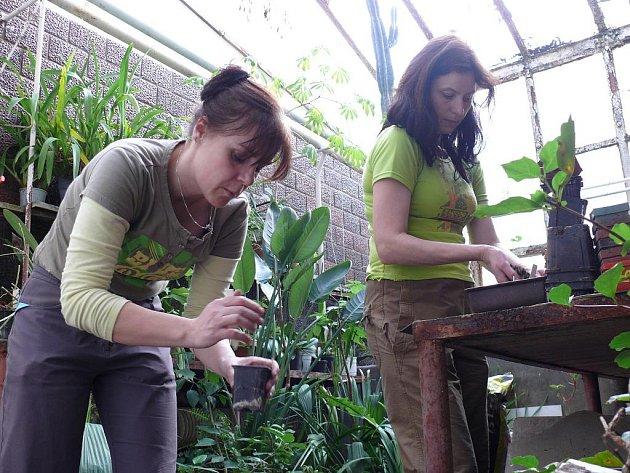 Zatímco na venkovních záhonech dosud vládne tuhá zima, ve sklenících je živo. Když pracovnice botanické zahrady Petra Vokounová a Jana Pernišová netřídí semena, přesazují skleníkové rostliny.