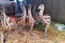 Prvními mláďaty letošního roku jsou v táborské zoo čiperní emu hnědí.