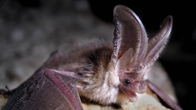 V jeskyni zimuje několik druhů netopýrů (velký, vodní, ušatý, černý), dominantním druhem je netopýr řasnatý.