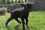Nový přírůstek táborské zoo: jehně ovce ouessantské.