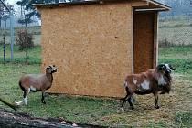 Ovce kamerunské.