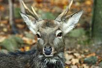 SOUBOJE. Během těchto měsíců mohou lidé při svých procházkách lesem uvidět srnce, kteří  mezi sebou svádějí souboje. To proto, že právě nyní začíná srnčí říje, a tak si srnci  hájí své teritorium.