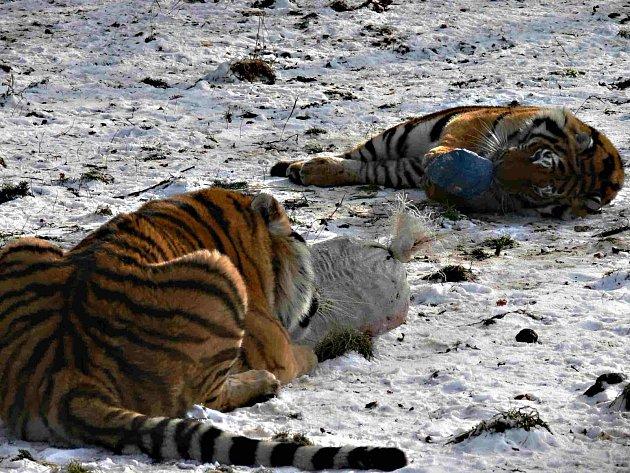 Tygři z větrovské zoo.