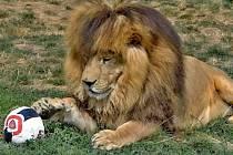 Lev Simba s fotbalovým míčem.