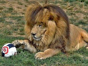 Lev Simba 'hraje fotbal'