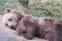 Medvěd hnědý v Zoo Tábor.