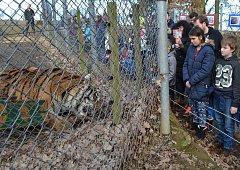 Z narozeninového krmení tygra ussurijského v táborské ZOO..