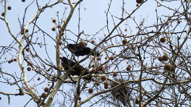 Havrani jsou velmi inteligentní ptáci a starostliví rodiče. Křičí, kálí a stále se rozšiřují. Jak v Táboře, tak například v Sezimově Ústí se zalíbilo koloniím havranů.