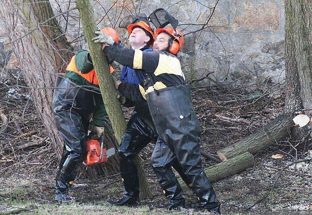 Skupina vzrostlých stromů rostoucích v korytě řeky Mže musela být v pondělí skácena.